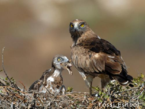 Adult Short-toed Eagle feeding its check with a rodent.© Yossi Eshbol.