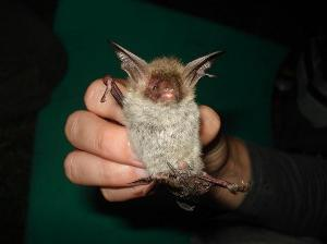 Bechstein's bat, © M.Kipson.
