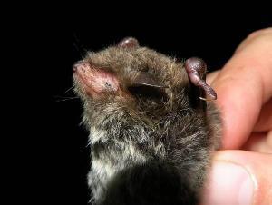 Daubenton's bat, ©P.Žvorc.