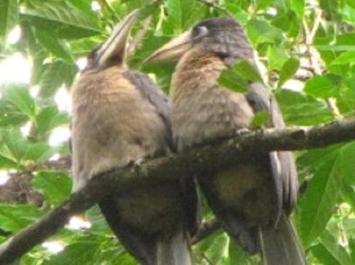Brown Hornbills Anorrhinus austeni in the less-disturbed site.