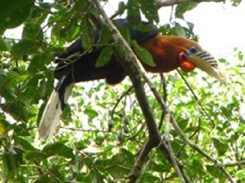 Rufous-necked Hornbill.