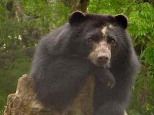 Andean bear. © Lizcano, 2003).
