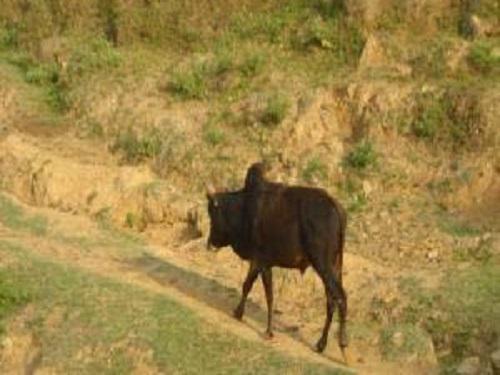 Achhami bullocks moving forward cowshed from pastureland.