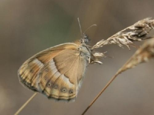 Heath - Coenonympha saadi.