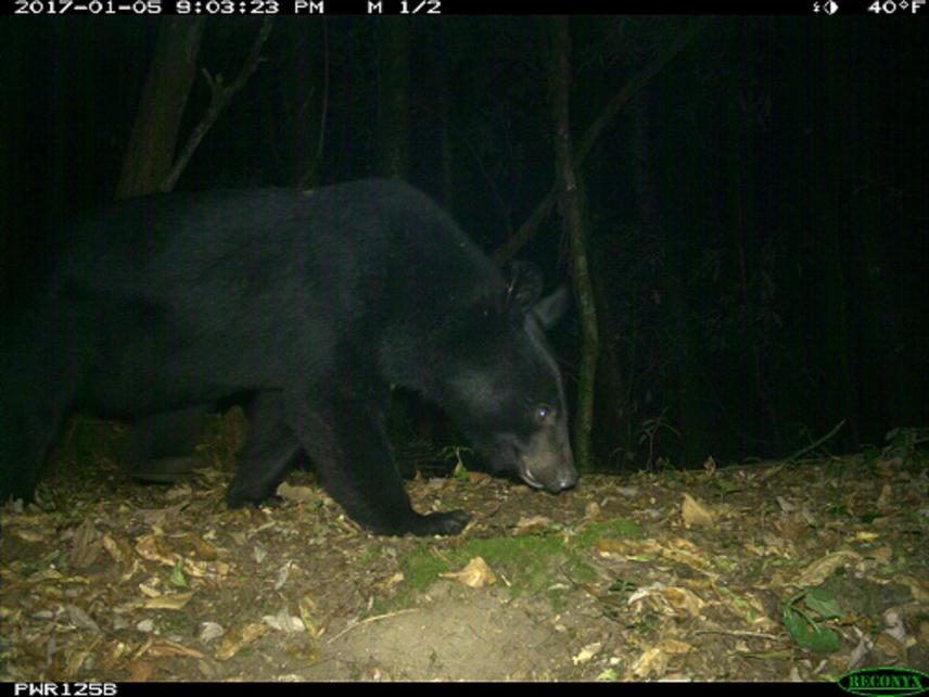 Himalayan Black Bear captured by camera trap.