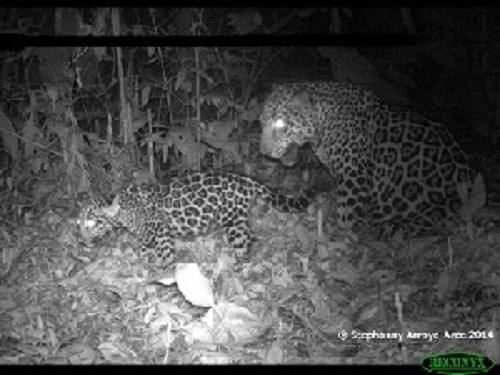 Jaguar family. © Stephanny Arroyo-Arce.
