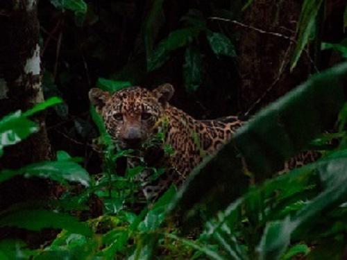Jaguar wild shot. © Ian Thomson.