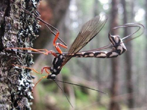 The largest Carpathian Ichneumon-wasp - Megarhyssa rixator.