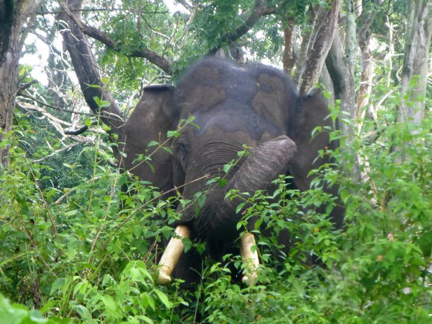 Elephant in Lantana.