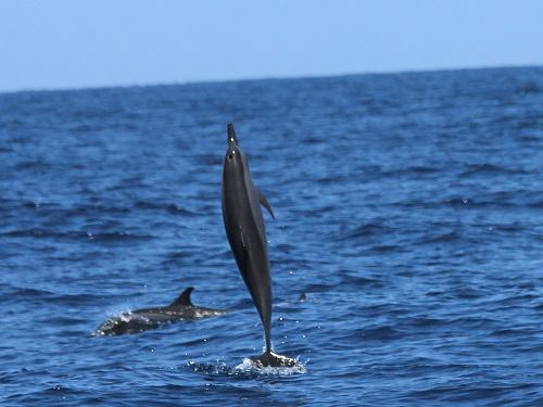 Spinner dolphin. Photo by Divya Panicker.
