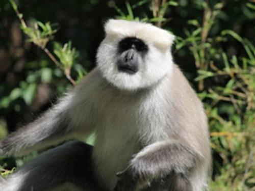 Central Himalayan Langur, Adult male.