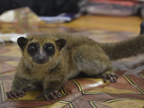 Dwarf lemur.