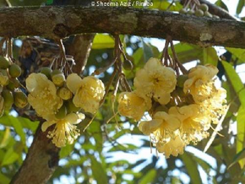 Durian (Durio zibethinus) flowers.