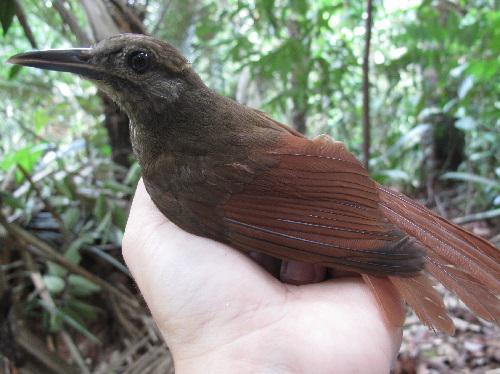 Plain-brown Woodcreeper (Dendrocincla fuliginosa).