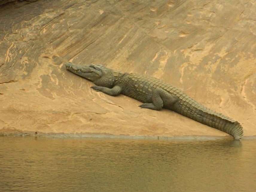 West-African crocodile.