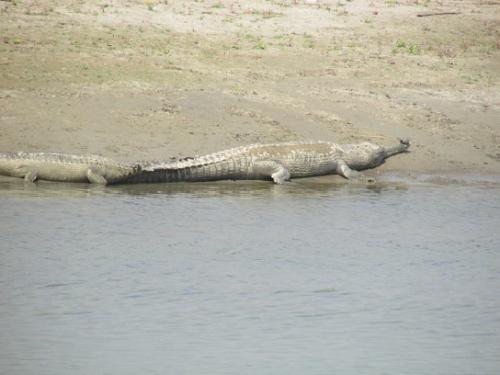 Adult breeding male basking in sand bank of Narayani River.