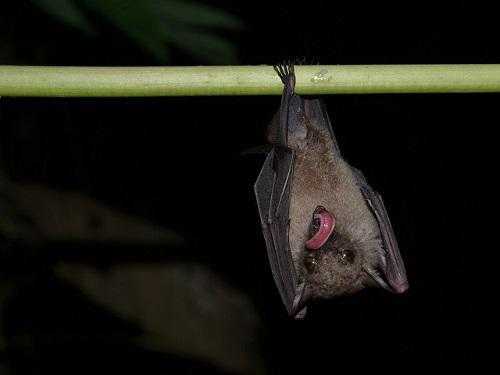 Sampled nectarivorous African long-tongued bat.