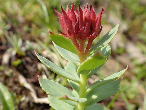 Rhodiola rosea.