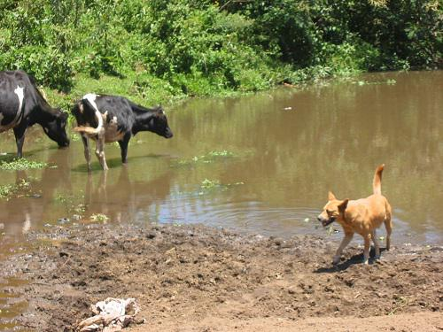 Livestock drinking from River Njoro.