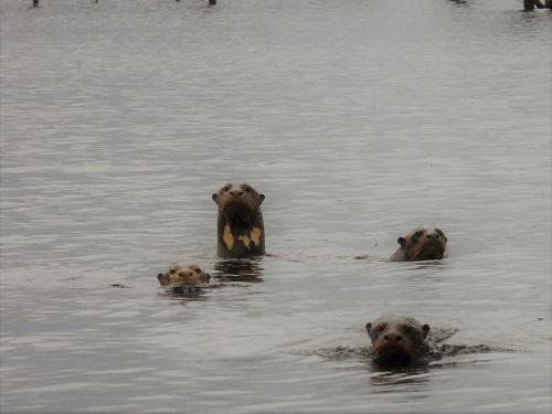 20201-1 group of giant otters.JPG