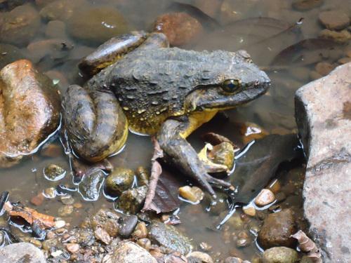 Goliath frog.