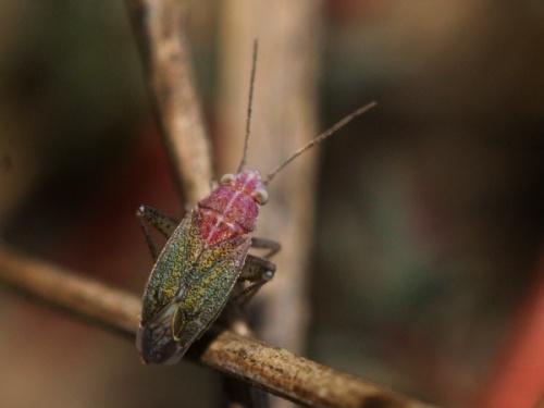 The rare saline true bug Solenoxyphus fuscovenosus.