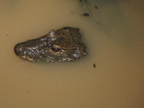 A record of West African Dwarf Crocodile in KNUST Wewe Catchment (photo credit @Michael Starkey.