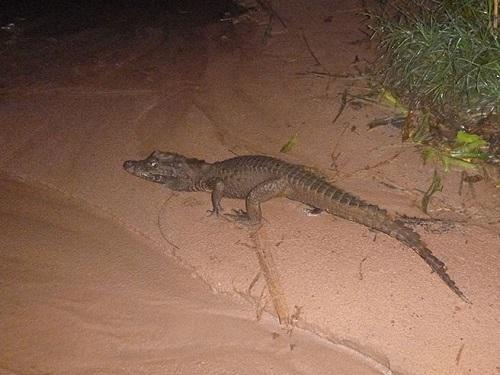West African dwarf crocodile (Osteolaemus sp. nov. cf.  tetraspis).