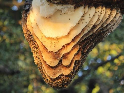 23606-1 Unusual exposed honeybee nests1.png