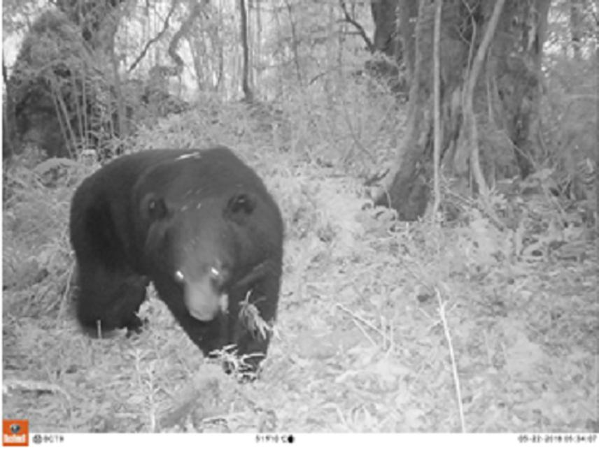 Asiatic black bear.