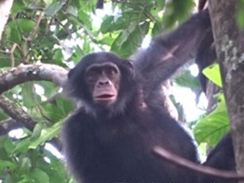 Chimpanzee in a tree in Kom-Wum Forest Reserve. ©Fotang Chefor.