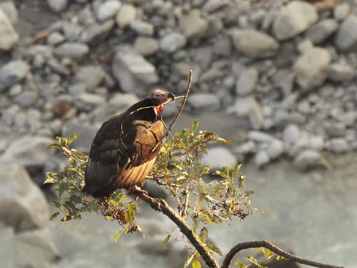 © Rajendra Gurung.