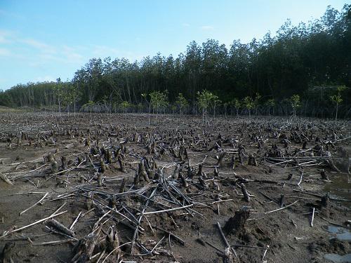 Degraded site for mangrove planting.