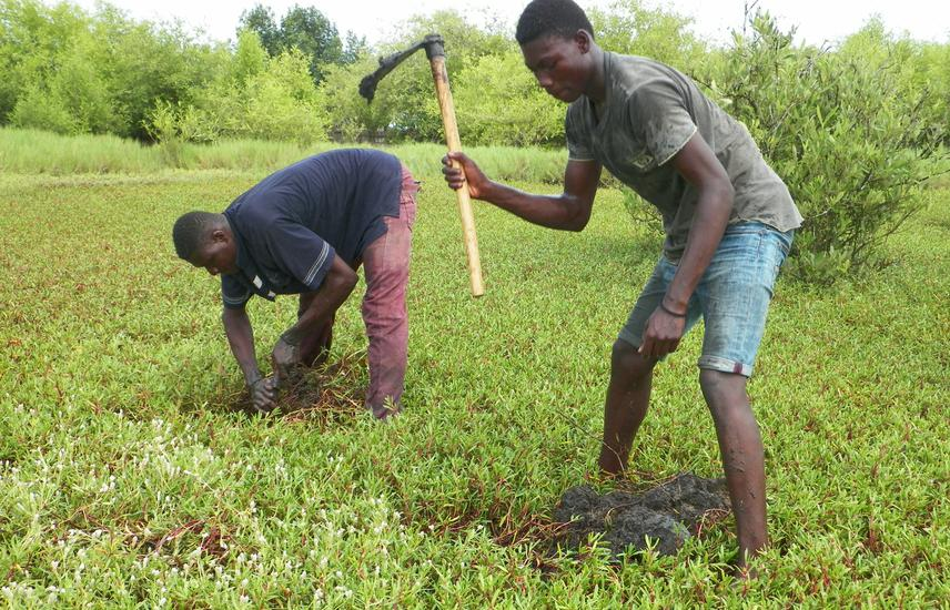 Planting of white mangrove wildlings in a previously cleared mangrove forest area taken over by Sesuvium portulacastrum