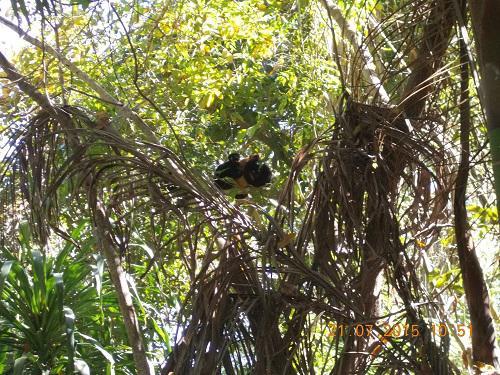 Blue-eyed black lemur.