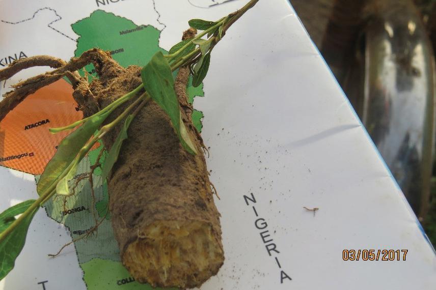 Rootstock of Ipomoea beninensis.