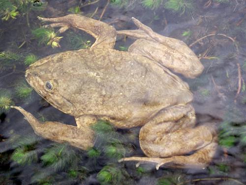25647-1Giant Junin Frog – Telmatobius macrostomus. ©Austin Fitzgerald.png