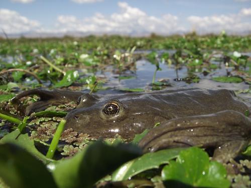 Giant Junin Frog – Telmatobius macrostomus. ©Austin Fitzgerald.
