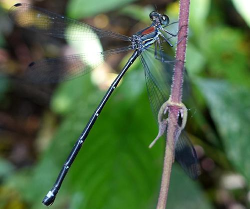 Philogenia martae, one of the beautiful endemic species of damselflies in Santa Cecilia region described as part of the results of the first phase. ©C. B
