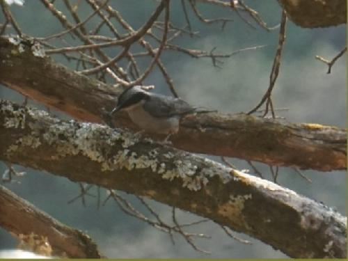 Giant nuthatch is feeding on a small aphid.