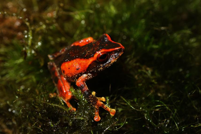 26752-1 Amphibian and reptile diversity of Mt. Busa, Southern Mindanao, Philippines.