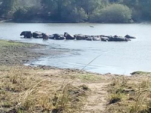 26886-B A congregation of hippos at River Ugalla.jpg