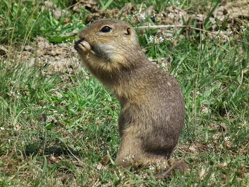 Europena ground squirrel (EGS) on field eating.