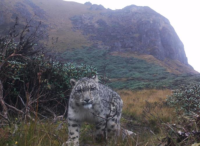 Camera trap image of a snow leopard at 4,500 m in Lunana, JDNP.