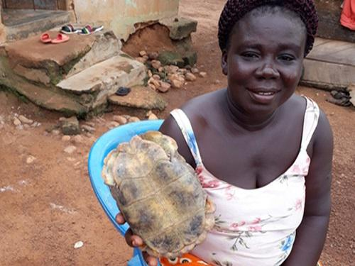 Kinixys tortoise identified in a hunting household. ©Adomako.