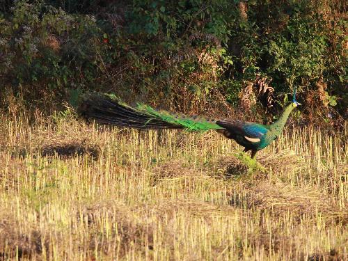 Male Peafowl. ©Nay Myo Shwe.
