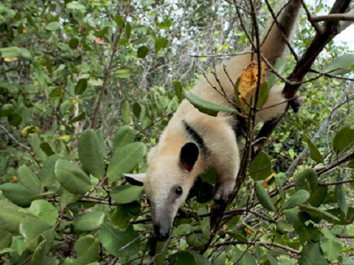 Lesser anteater in mangrove of Parnaíba's Delta. ©Karina T Molina.