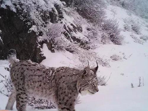 Turkestan lynx. © Alexey Grachev.