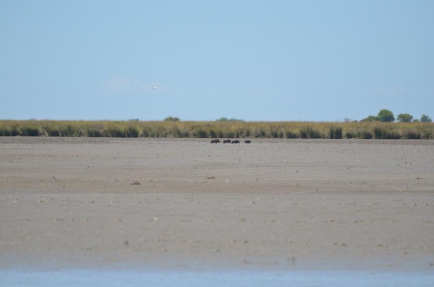 Wild boars crossing a lagoon.
