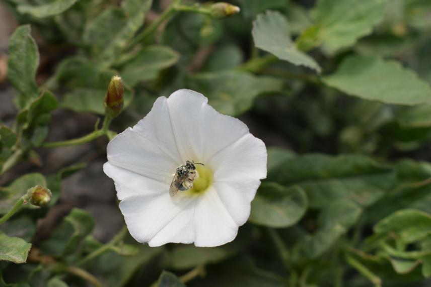 Halictidae on Convolvulus bonariensis.